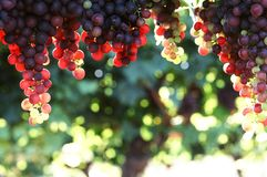 Hanging grapes. Grapes hanging from a vine with the sun shining  through them Royalty Free Stock Photos