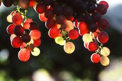 Hanging grapes. Grapes hanging from a vine with the sun shining  through them Stock Photos