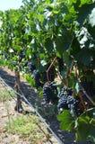 Hanging Grapes Stock Photo