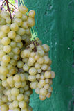 Hanging Grapes Royalty Free Stock Image