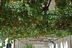 Hanging grapevines, Cabra. Stock Image