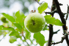 Hanging green apple on a branch with water drops Royalty Free Stock Image