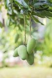 Hanging Green Mangoes Stock Image