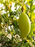 Hanging Green Mangoes. Close up Hanging Green Mangoes Royalty Free Stock Photography