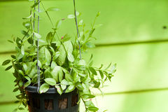 Hanging green plant Royalty Free Stock Images