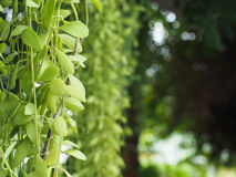 Hanging green plant Royalty Free Stock Photo