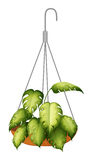 A hanging green plant Royalty Free Stock Photos