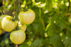 Hanging green tomato. In farmland Stock Images