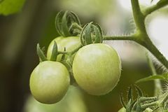 Hanging green tomatoes Stock Images