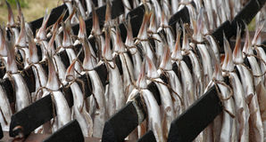 Hanging Haddock. Close up of pairs of haddock hanging on metal rods ready for smoking in the manner of traditional Scottish Arbroath smokies Royalty Free Stock Photos