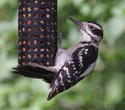 Hanging Hairy Woodpecker Royalty Free Stock Photography