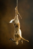 Hanging hare Stock Photos