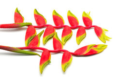 Hanging Heliconia Royalty Free Stock Image