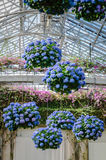 Hanging Hydrangeas - Longwood Gardens - PA. Flower baskets filled with blue hydrangeas & x28;Hydrangea macrophylla& x29; hang from glass ceiling in East Royalty Free Stock Photography