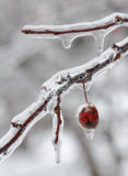 Hanging ice berry Stock Images