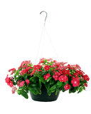 Hanging Impatiens Stock Photo