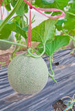 Hanging Japanese melon in melon orchard Stock Photos
