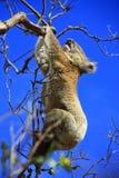 Hanging Koala. Koala in a tree, Victoria, Australia royalty free stock images