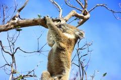 Hanging Koala. Koala in a tree, Victoria, Australia stock photo