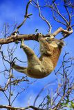 Hanging Koala. Koala in a tree, Victoria, Australia royalty free stock image