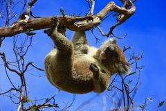 Hanging Koala. Koala in a tree, Victoria, Australia stock photography