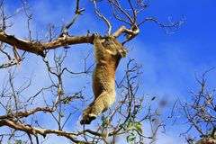Hanging Koala. Koala in a tree, Victoria, Australia stock images