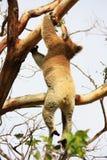 Hanging Koala. Koala in a tree, Victoria, Australia royalty free stock photography