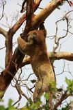 Hanging Koala. Koala in a tree, Victoria, Australia royalty free stock photo