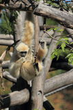 Hanging lar gibbon Stock Photos