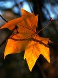 Hanging Leaf Stock Images