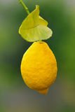 Hanging Lemon Stock Image