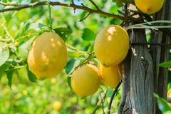Lemon garden of Sorrento. Hanging Lemon Fruits in Lemon garden of Sorrento at summer stock images