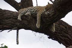 Hanging Leopard. Shot in Botswana, hanging female leopard Stock Images
