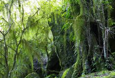 Hanging lichen and moss Stock Image