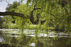 Hanging Limb. Tree limb extended out over pond at UMass Amherst Stock Image