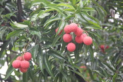 Hanging litchi on the tree Royalty Free Stock Image