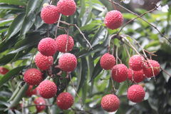 Hanging litchi on the tree Stock Photography