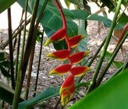 Hanging Lobster Claw or Heliconia rostrata. Bright red and yellow Hanging Lobster Claw is also known as False Bird of Paradise Royalty Free Stock Image