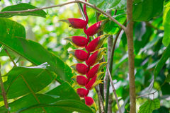 Hanging Lobster Claw, Heliconia rostrata, Flower Isolated. On the forest Stock Images