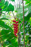 Hanging Lobster Claw, Heliconia rostrata, Flower Isolated. On the forest Stock Photography