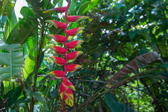 Hanging lobster claw or Heliconia rostrata. Flower of hanging lobster claw plant or Heliconia rostrata Royalty Free Stock Images