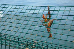 Hanging Lobster Stock Photos