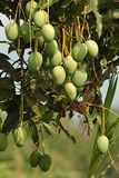Hanging mangoes. A lot of mangoes hanging on a tree Royalty Free Stock Photos