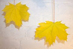 Hanging Maple Tree Branches with Changing Fall Leaves Isolated on White Background royalty free stock image