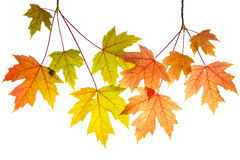 Hanging Maple Tree Branches with Leaves Stock Image