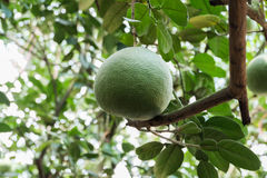 Hanging mature pummelo. Citrus Maxima or pummelo hanging on the tree at harvested maturity ready for harvest stock images