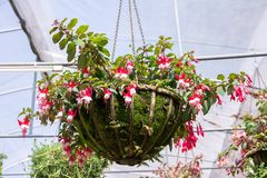 Hanging metal pot of fuchsia flowers in a greenhouse. Background royalty free stock image