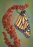 Hanging Monarch. A monarch is hanging from a dried weed royalty free stock photos