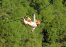Hanging monkey stock photos