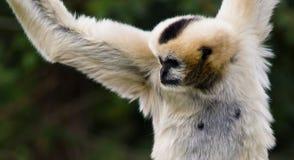 Hanging monkey. Outdoors at Denver zoo, USA royalty free stock photo